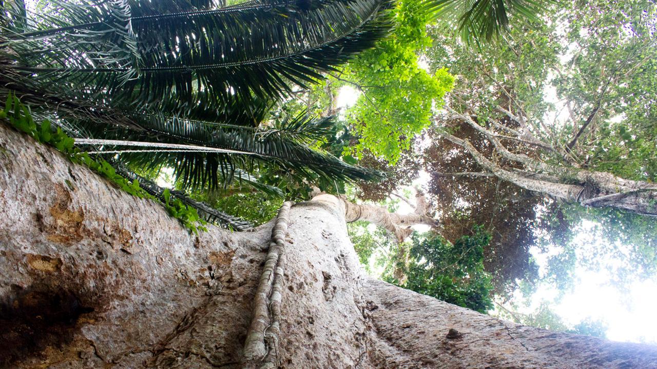Shihuahuaco (Dipteryx micrantha) en el bosque de Arbio.