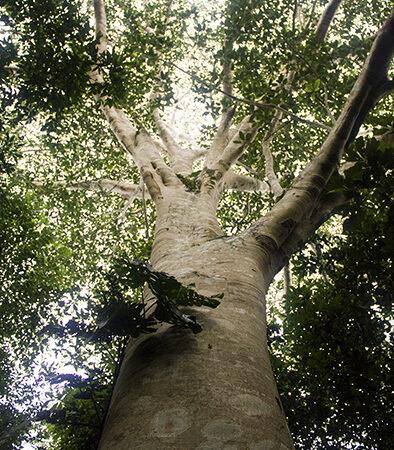 Oje Ficus insipida, adopta un árbol en Arbio Perú