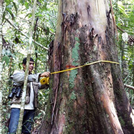 Capirona Calycophyllum spruceanum, adopta un árbol con Arbio Perú y protege la flora