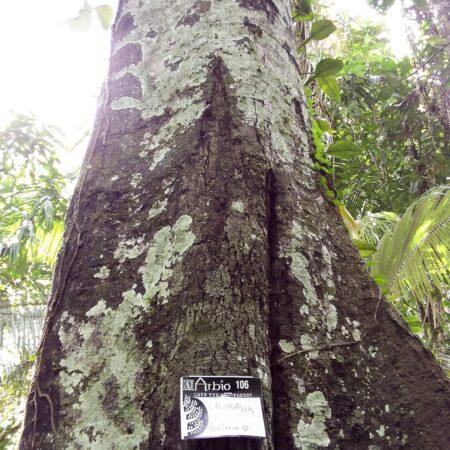 Carahuasca Guatteria sp, adopta un árbol con Arbio Perú y protege la flora