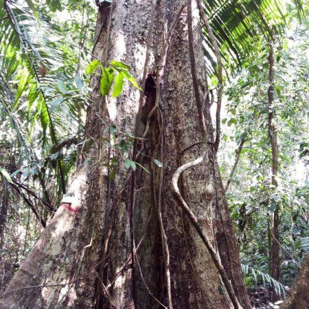 Caimitillo Pouteria torta, adopta un árbol con Arbio Perú y protege la flora