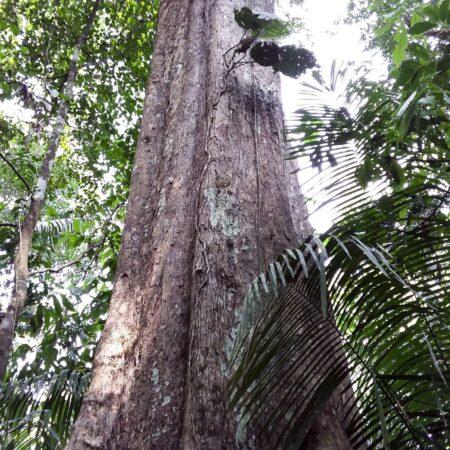 Caimito Pouteria torta, adopta un árbol con Arbio Perú y protege la flora