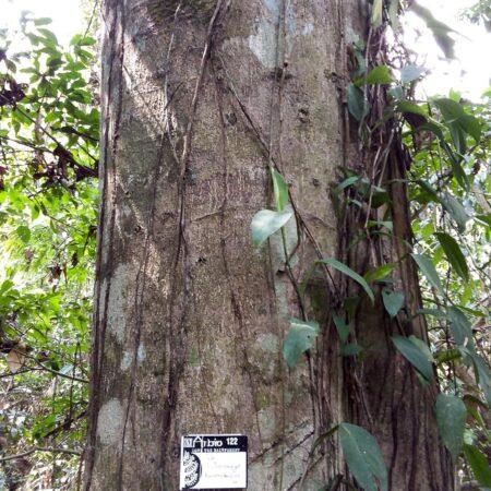 Palo guacamayo Barnebydendron, adopta un árbol en Arbio Perú