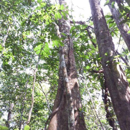 Huayruro Ormosia coccinea, adopta un árbol con Arbio Perú y protege la flora