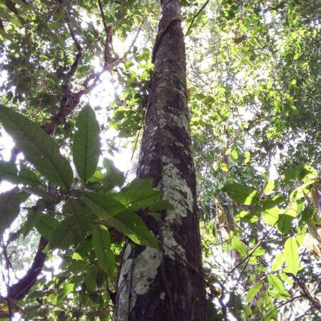 Misa blanca Sweleyra coriaceae, adopta un árbol con Arbio Perú