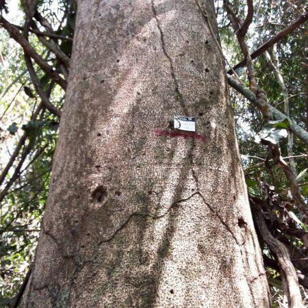 Azucar huayo Hymenaea sp, adopta un árbol con Arbio Perú y protege la flora