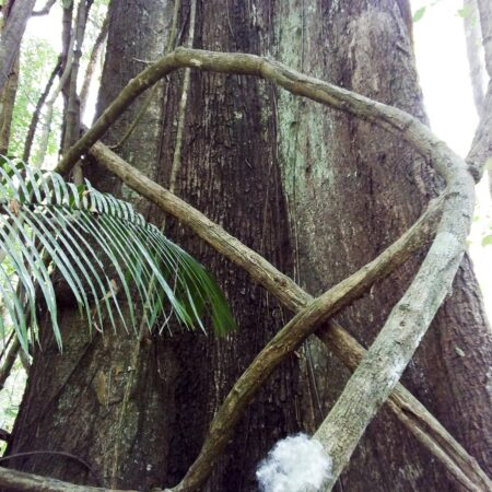 Huimba Pachira insignis, adopta un árbol con Arbio Perú y protege la flora