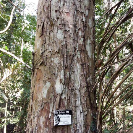 Árbol Yacushapana, protege el bosque con Arbio Perú