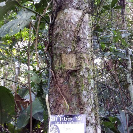 Pijauyo árbol, protege la flora con Arbio Perú