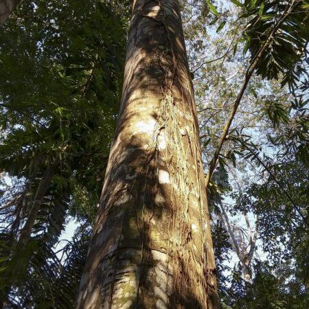 Anonilla Rollinia peruviana, adopta un árbol con Arbio Perú y protege la flora