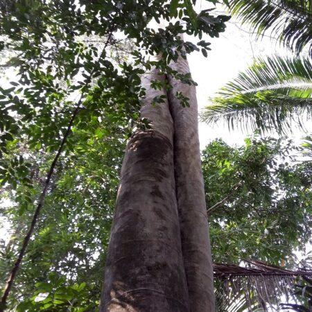 Tronco de arbol visto desde abajo en medio del bosque, protege el bosque con Arbio Perú