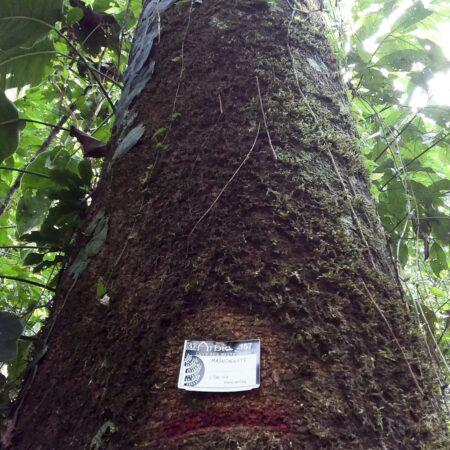 Mashonaste Clarisia racemosa, adopta un árbol con Arbio Perú