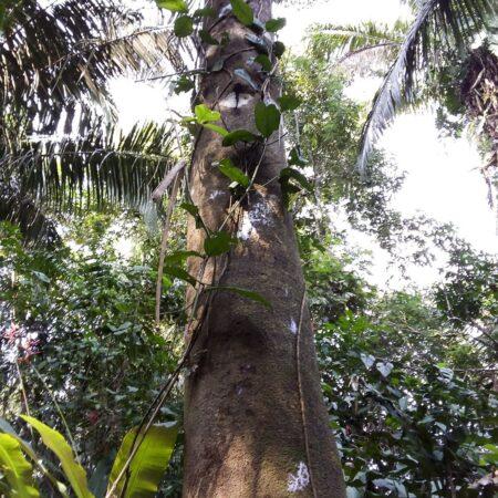 Moena Nectandra, adopta un árbol en Arbio Perú