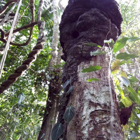 Huacaycha Hyeronima sp, adopta un árbol con Arbio Perú y protege la flora