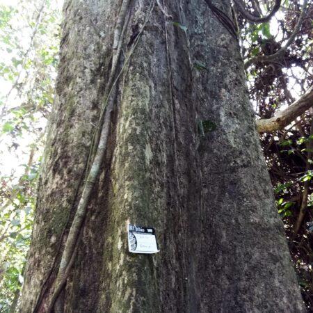 Caimito Pouteria sp, adopta un árbol con Arbio Perú y protege la flora