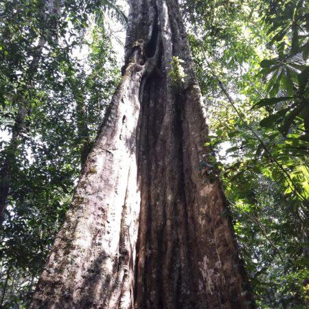 Árbol frondoso grande, protege el bosque con Arbio Perú