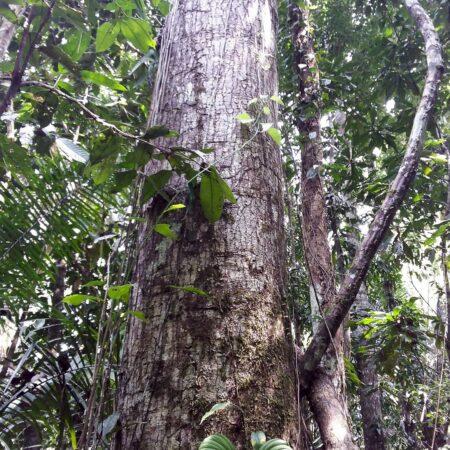 Árbol en pleno del bosque, protege el bosque con Arbio Perú