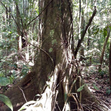 Chimicua Pseudolmedia laevis, adopta un árbol con Arbio Perú y protege la flora
