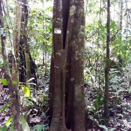 Charichuela Garcinia madruno, adopta un árbol con Arbio Perú y protege la flora
