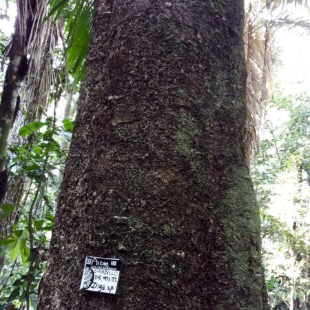 Árbol Shiringa en pleno bosque, protege el bosque con Arbio Perú