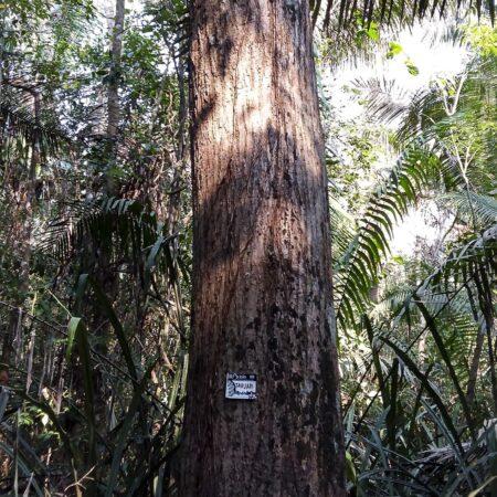Anacaspi Apuleia leiocarpa, adopta un árbol con Arbio Perú y protege la flora