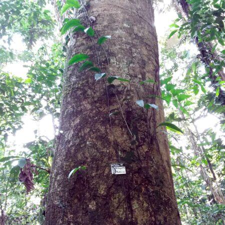 Pashaquillo, árbol en medio del bosque, protege un árbol con Arbio