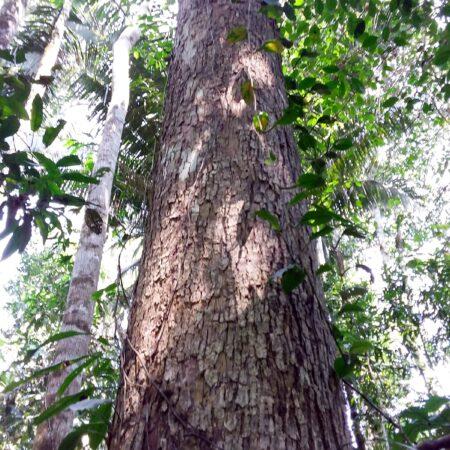 Árbol frondoso, protege el bosque con Arbio Perú