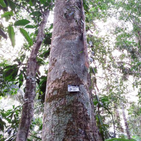 Caucho Castillea ulei, adopta un árbol con Arbio Perú y protege la flora