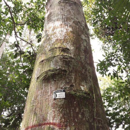 Amasisa Erythrina poepiggiana, adopta un árbol con Arbio Perú y protege la flora