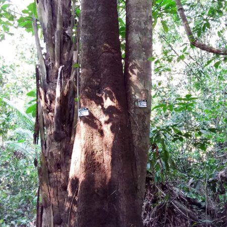 Aceituna caspi Tapirira guianensis, adopta un árbol con Arbio Perú y protege la flora