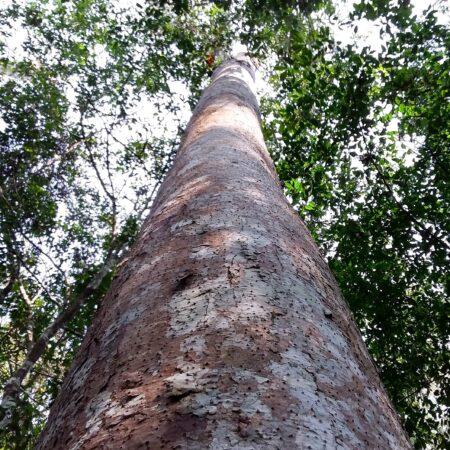 Ishpingo Amburana cearensis, adopta un árbol con Arbio Perú y protege la flora
