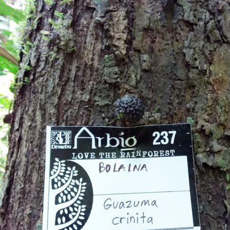 Bolaina Guazuma crinita, adopta un árbol con Arbio Perú y protege la flora