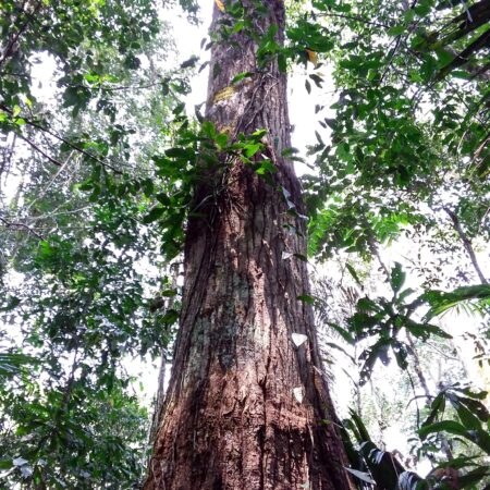 Lagarto caspi Calophyllum brasiliensis, adopta un árbol con Arbio Perú y protege la flora