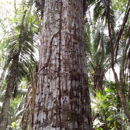 Lupuna Ceiba pentandra, adopta un árbol con Arbio Perú y protege la flora