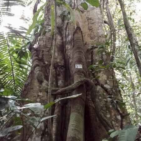 Manchinga Brosimun alicastrum, adopta un árbol con Arbio Perú y protege la flora