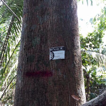 Estoraque Myroxylon balsamum, adopta un árbol con Arbio Perú y protege la flora
