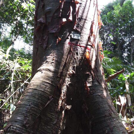 Lupuna colorada Cavanillesia hylogeiton, adopta un árbol con Arbio Perú y protege la flora