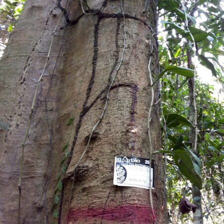 Ajosquiro Gallesia integrifolia, adopta un árbol con Arbio Perú y protege la flora