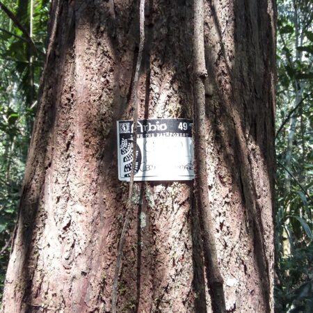 Cedro Cedrela odorata, adopta un árbol con Arbio Perú y protege la flora