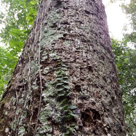Ayauma Couroupita guianensis, adopta un árbol con Arbio Perú y protege la flora