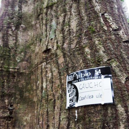 Caucho masha Sapium marmieri, adopta un árbol con Arbio Perú y protege la flora