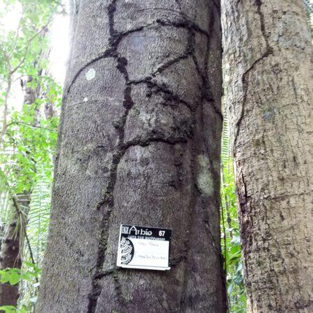 Huayo blanco Leicontea peruviana, adopta un árbol con Arbio Perú y protege la flora