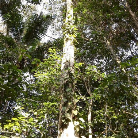 Caucho Castilla ulei, adopta un árbol con Arbio Perú y protege la flora
