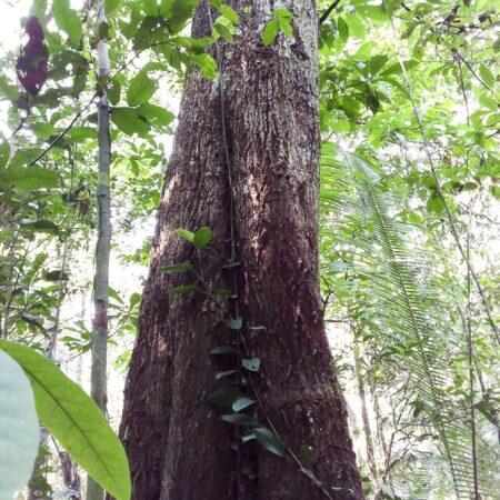 Caimitillo Chrysophyllum sp, adopta un árbol con Arbio Perú y protege la flora