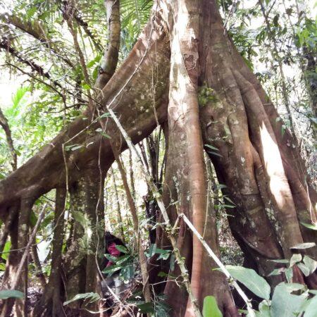 Árbol con raices grande en medio del bosque, protege la flora con Arbio Perú