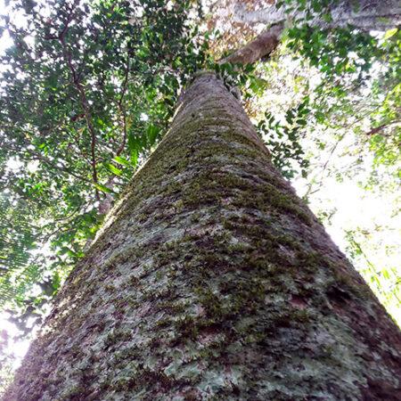 Catahua árbol, protege un árbol con Arbio