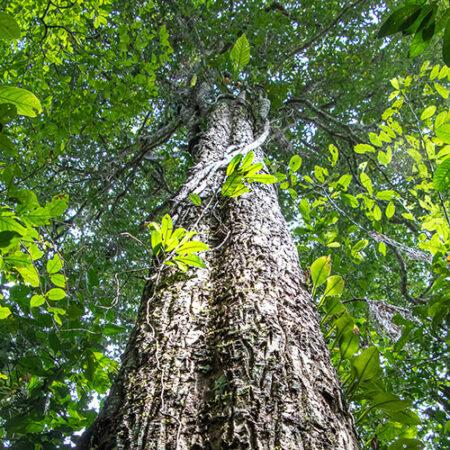 Quinilla árbol conservación de la fauna con Arbio